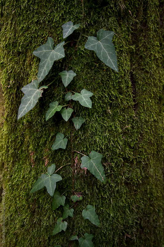 Ivy plant climbing on tree with green moss by Cosma Andrei for Stocksy United