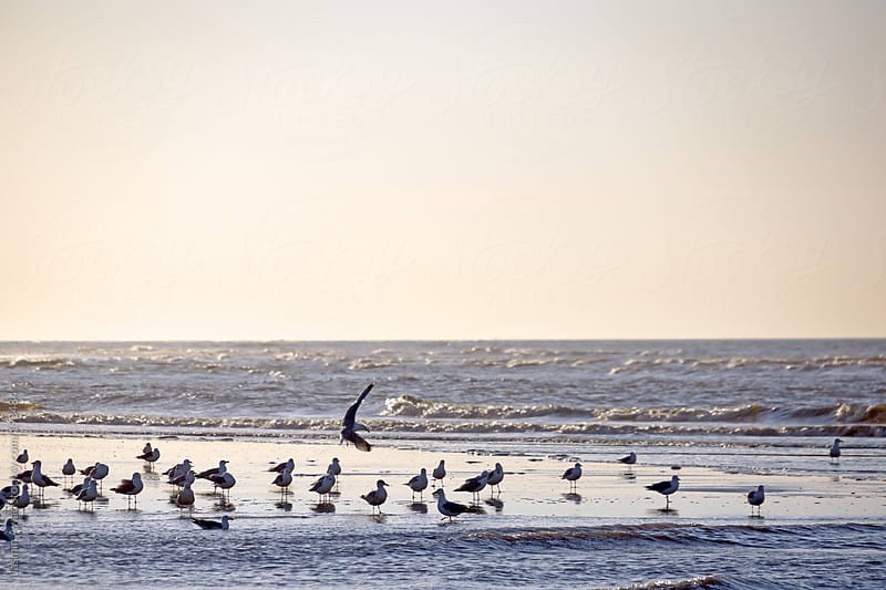 Birds at the beach in the evening by Jasmin Awad for Stocksy United