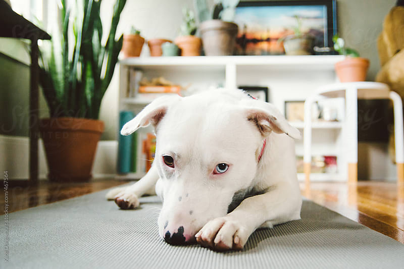 A cute white puppy lays on a yoga may in a living room by Kate Daigneault for Stocksy United