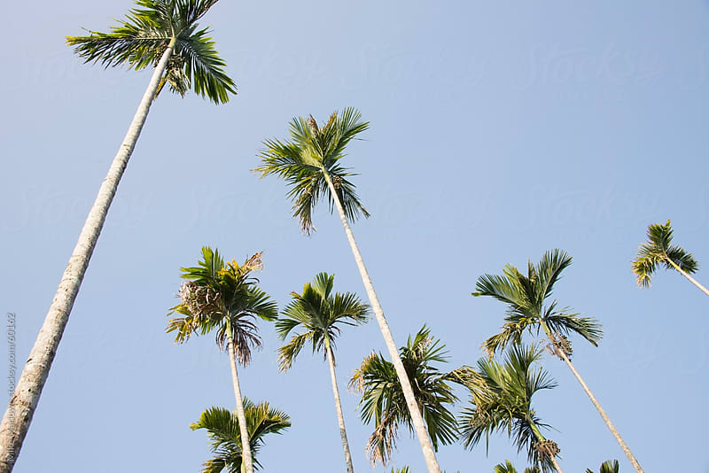 Low angle shot of palm trees. by Mike Marlowe for Stocksy United