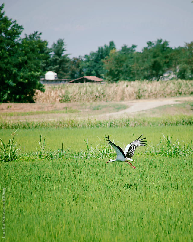 Stork flying in italian countryside by Laura Stolfi for Stocksy United