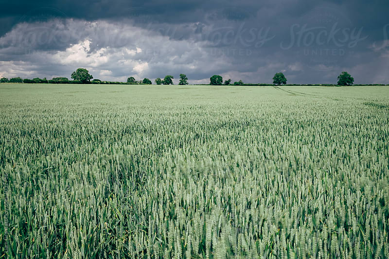 Wheat blowing in the wind with storm clouds above. Norfolk, UK. by Liam Grant for Stocksy United