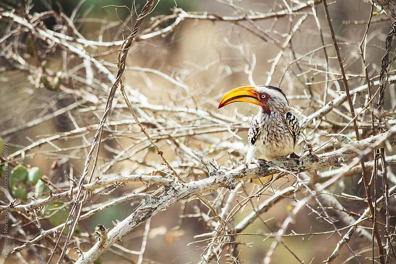Southern Yellow-Billed Hornbill bird on a branch by Alejandro Moreno de Carlos for Stocksy United