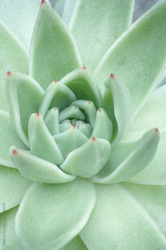beautiful greyish green succulent plant by Marcel for Stocksy United