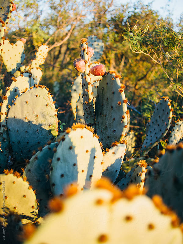 Prickly pear catus, Texas. by Jeremy Pawlowski for Stocksy United