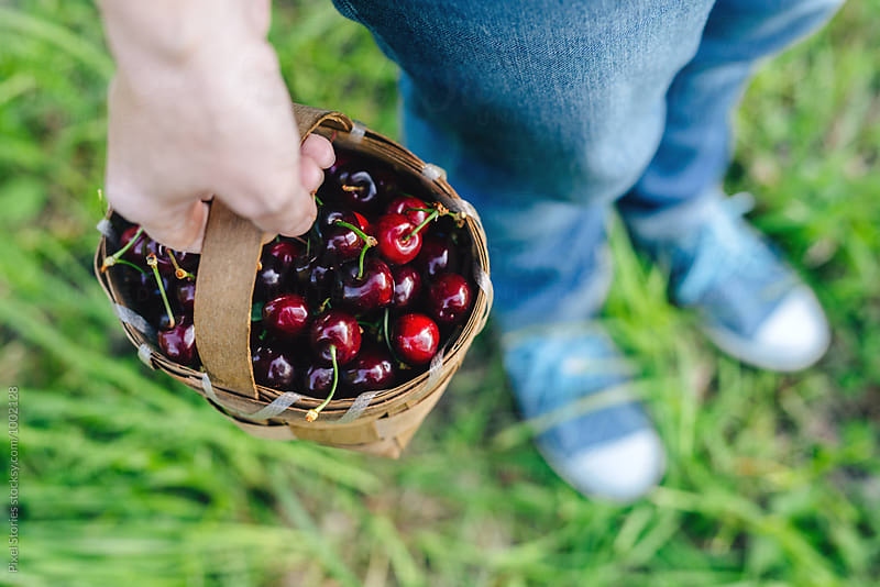 Woman holding basket full of just picked cherries by Pixel Stories for Stocksy United