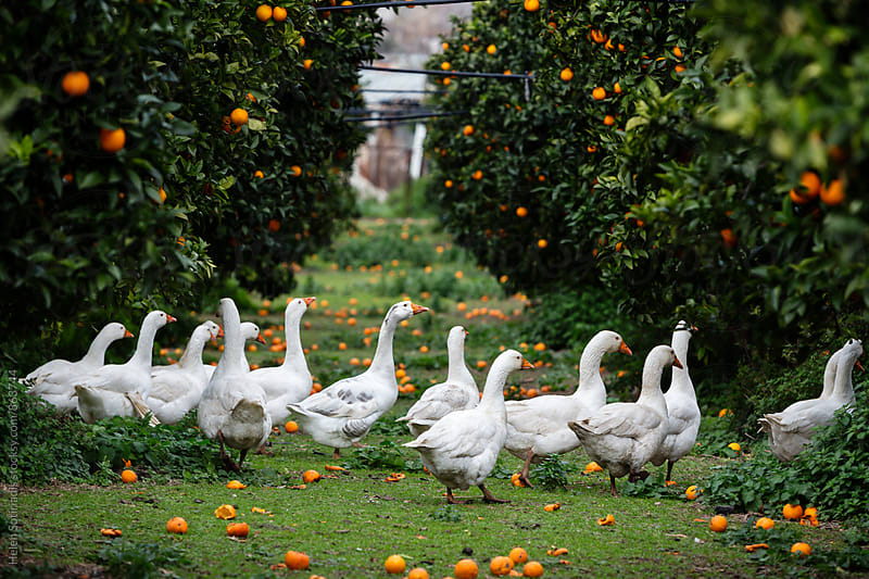 Ducks Walk Through an Orange Grove by Helen Sotiriadis for Stocksy United