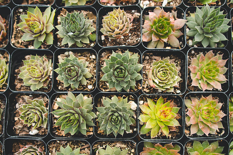 Tray of succulents by Courtney Rust for Stocksy United
