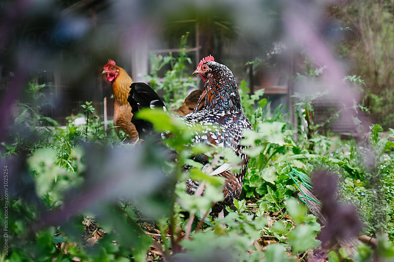 Mother Hens by Justine Di Fede for Stocksy United