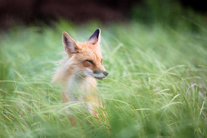 Single wild fox in natural animal environment by Matthew Spaulding for Stocksy United