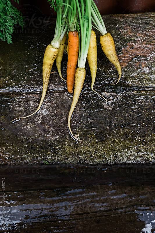Freshly harvested carrots with copy space by Rowena Naylor for Stocksy United