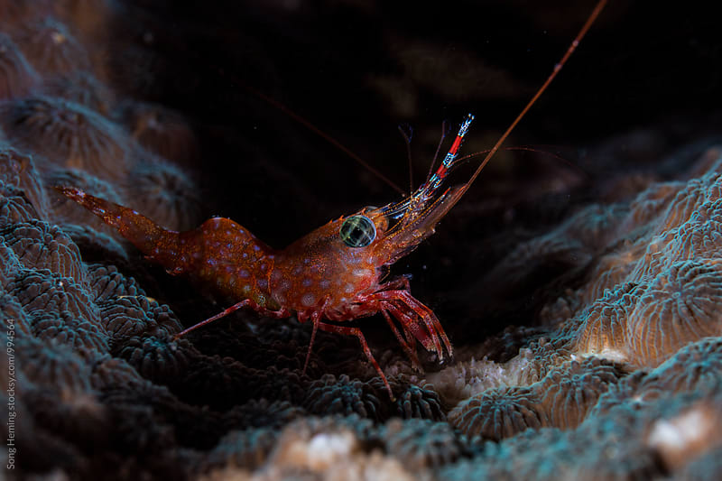 shrimp stand on the hard coral by Song Heming for Stocksy United