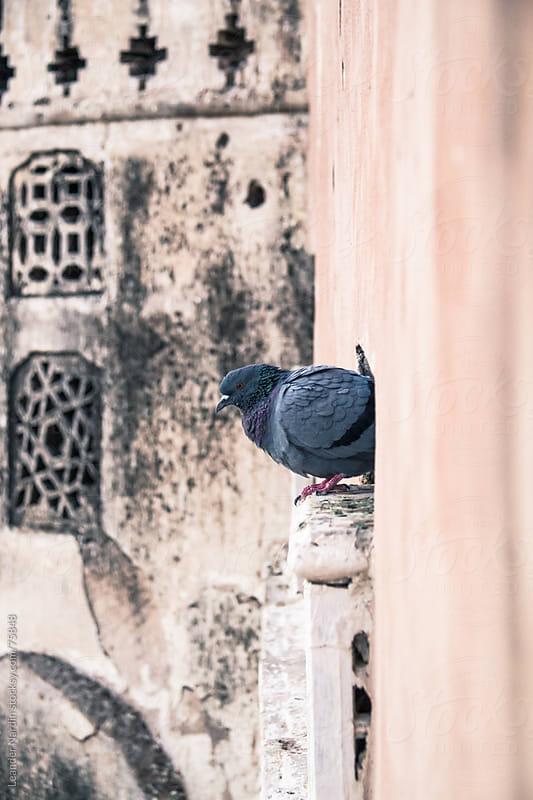 Pigeon on a ledge by Leander Nardin for Stocksy United