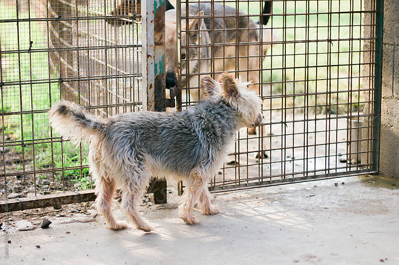 Yorkshire dog stands in front of fence and Czechoslovakian wolf looking at the camera by Laura Stolfi for Stocksy United