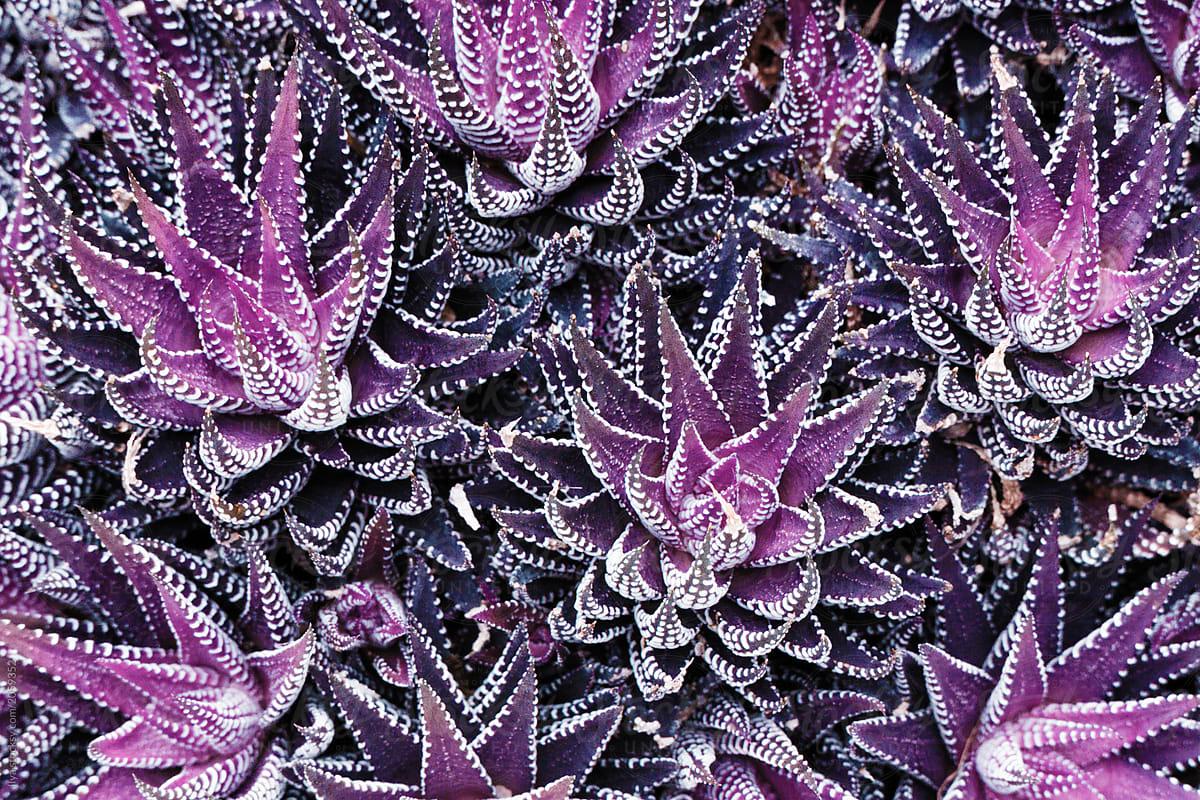 Purple Plant Background By Ilya Succulent Background Stocksy United