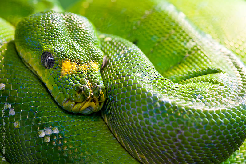 Green Tree Python by Brandon Alms for Stocksy United