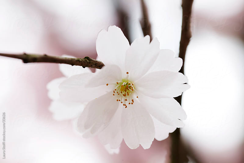 Extreme close-up of white and pale pink cherry tree flower in bloom by Laura Stolfi for Stocksy United