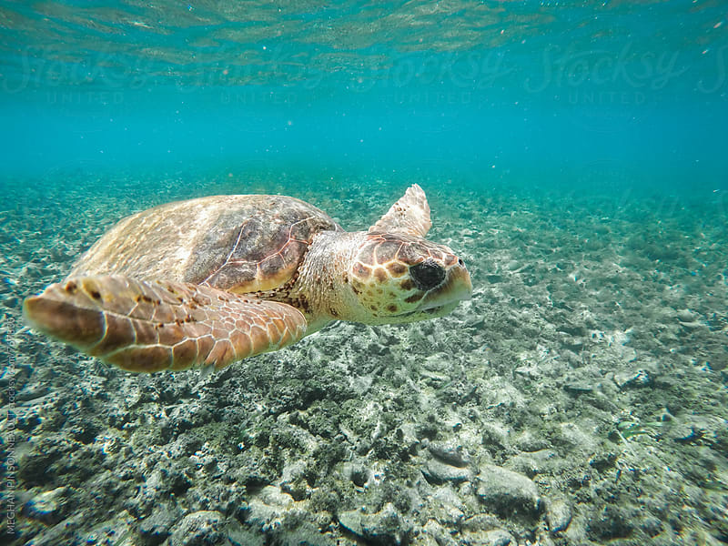 Sea Turtle Swimming in Blue Waters Above Hundreds of Conch Shells by MEGHAN PINSONNEAULT for Stocksy United