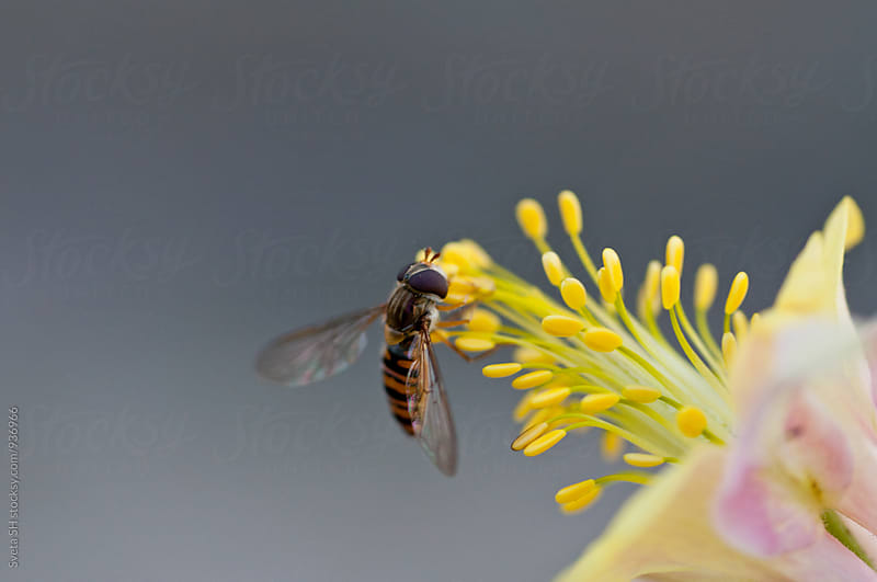 Small hoverfly (Syrphidae, Eupeodes luniger) by Svetlana Shchemeleva for Stocksy United