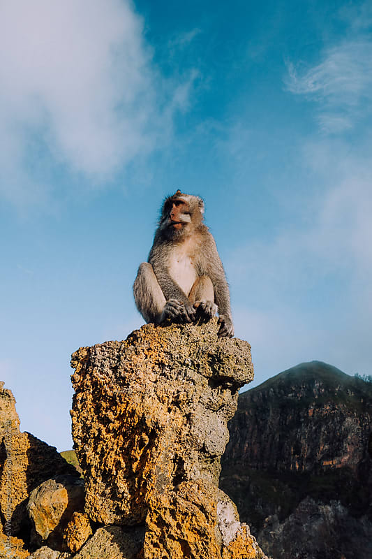 Wild Monkey by Jesse Weinberg for Stocksy United
