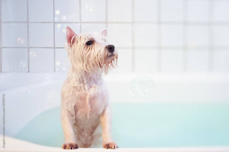Wet white dog with bubbles in a bath by Angela Lumsden for Stocksy United