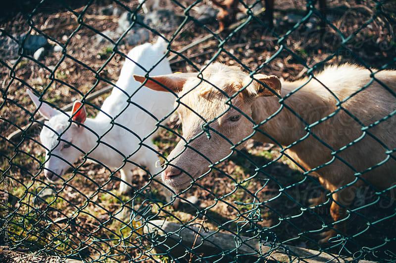 Goat by Giada Canu for Stocksy United