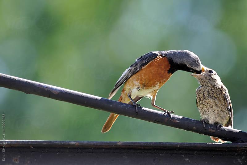 Redstart (Phoenicurus phoenicurus) by Sveta SH for Stocksy United
