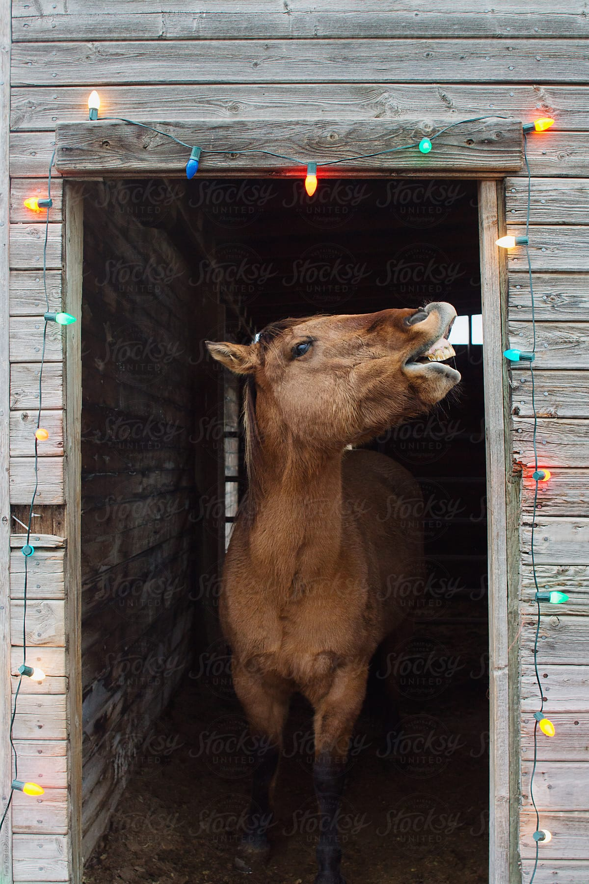 Horse Shows His Teeth While Standing In Decorated Barn Door