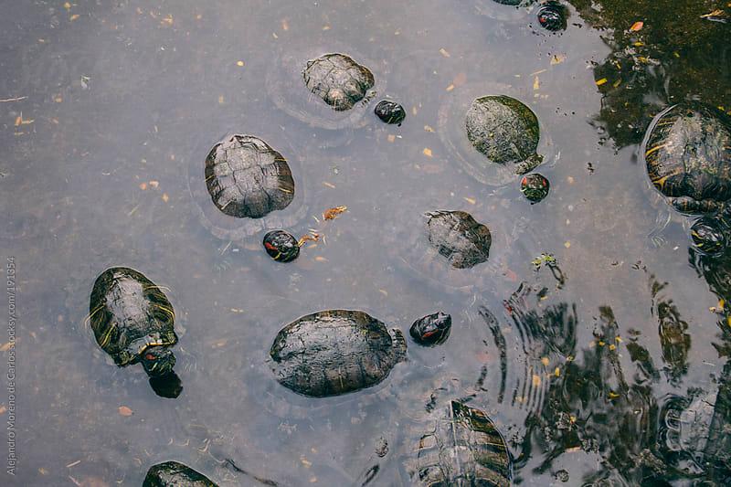 Turtles on water by Alejandro Moreno de Carlos for Stocksy United