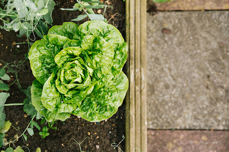 Homegrown lettuce in the vegtable garden  by Kirsty Begg for Stocksy United