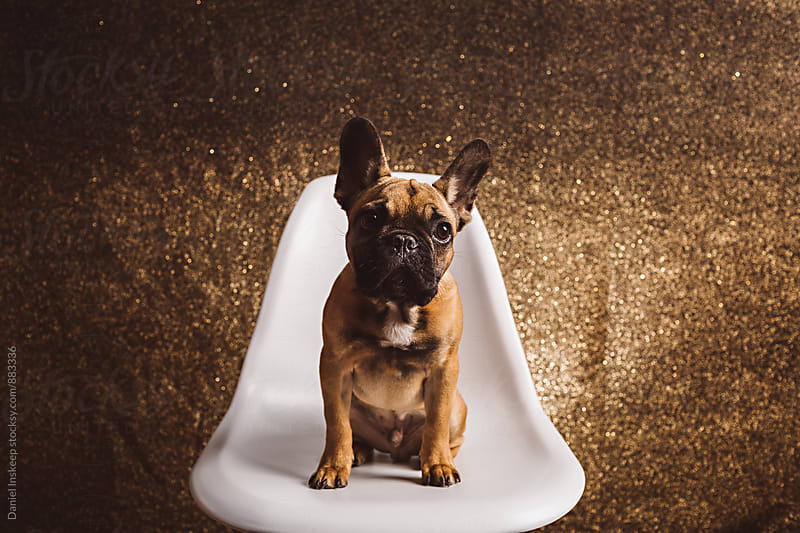 A French Bulldog Puppy Sitting on a Chair by Daniel Inskeep for Stocksy United