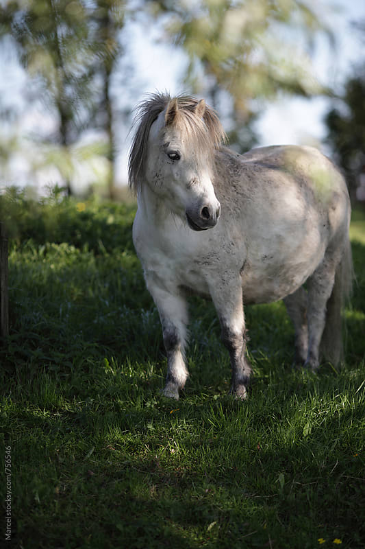 Pretty white pony horse standing in a field with trees by Marcel for Stocksy United