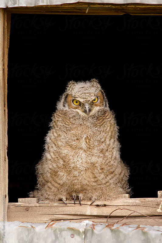 Young horned owl sits in barn window watching by Tana Teel for Stocksy United