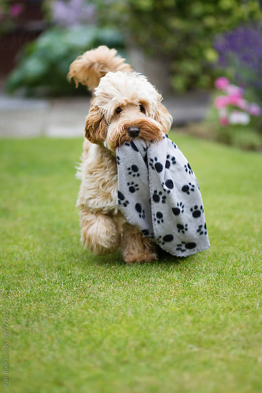 Cockapoo carrying his blanket by Ruth Black for Stocksy United