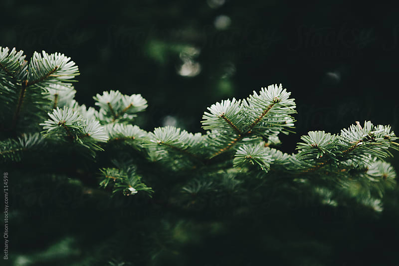 Pine by Bethany Olson for Stocksy United