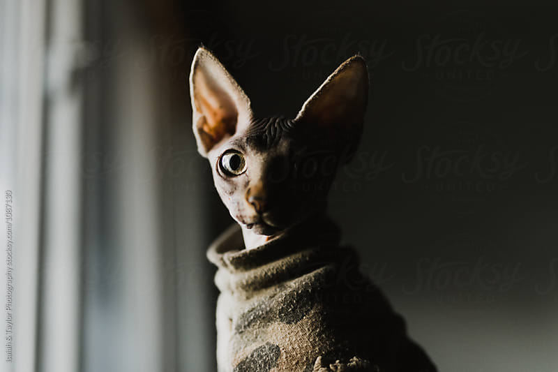Funny Sphinx Cat in Camo Shirt by Isaiah & Taylor Photography for Stocksy United