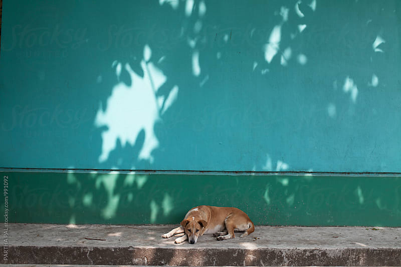 A stary dog relaxing under shade by PARTHA PAL for Stocksy United