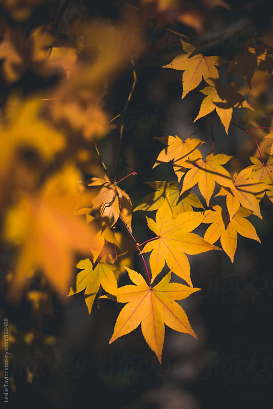Yellow Japanese Maple Leaves by Leslie Taylor for Stocksy United