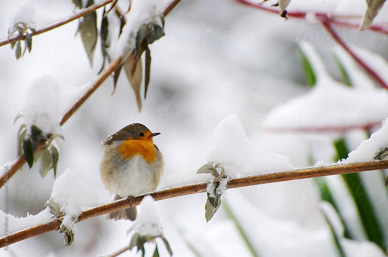 European Robin sitting on a snowy branch by Harald Walker for Stocksy United