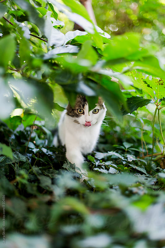 Cat licks her lips while waiting in ambush under plant branches by Laura Stolfi for Stocksy United