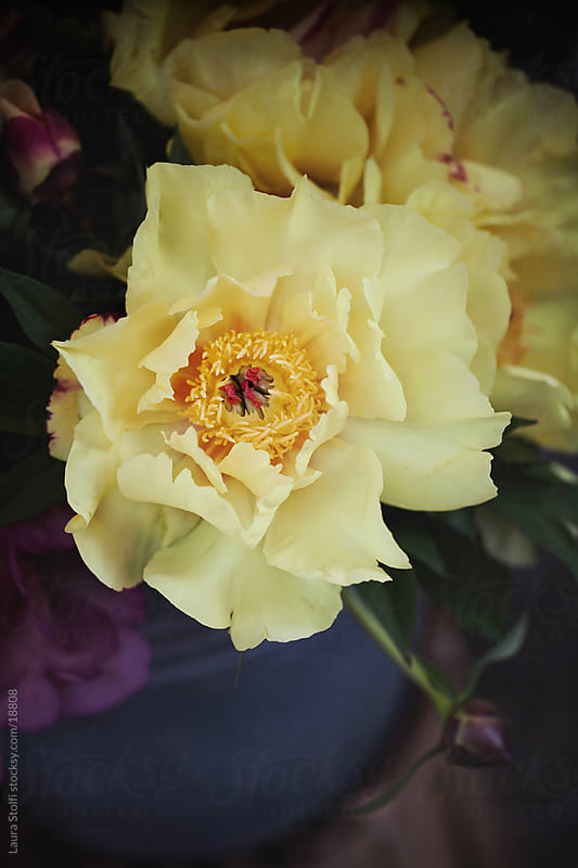 Yellow peony detail by Laura Stolfi for Stocksy United