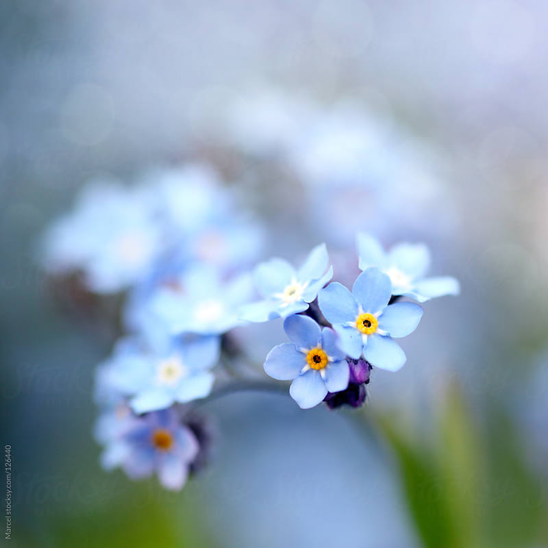 Forget-me- not by Marcel for Stocksy United