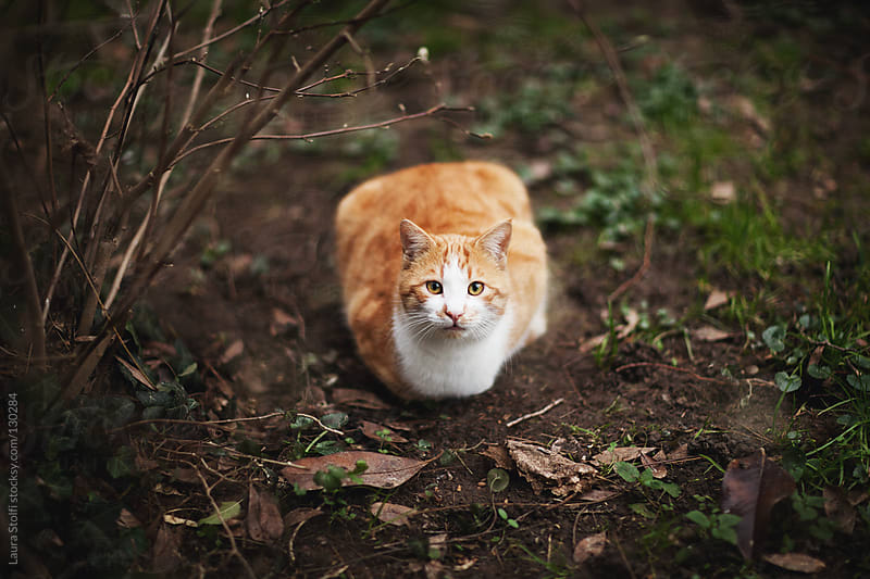 Red cat looks straigh at the camera in fall garden by Laura Stolfi for Stocksy United