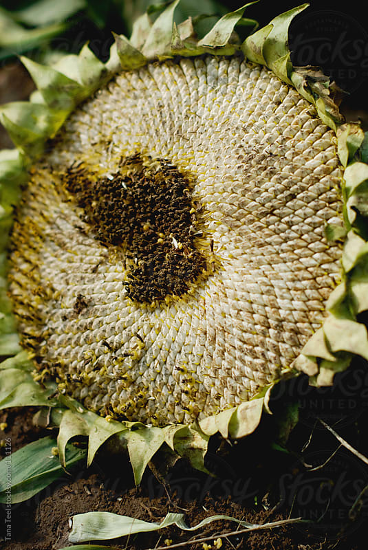 A dried sunflower with seeds still intact by Tana Teel for Stocksy United