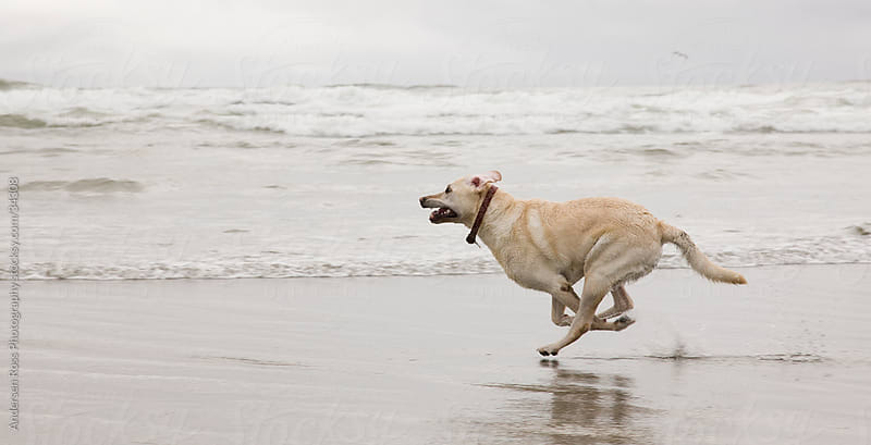 Labrador retriever running on beach by Andersen Ross Photography for Stocksy United