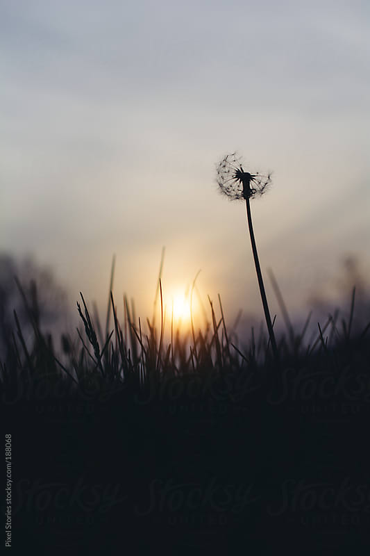 Lonely dandelion by Pixel Stories for Stocksy United