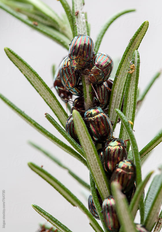 Rosemary beetle infestation on a rosemary branch. by kkgas for Stocksy United