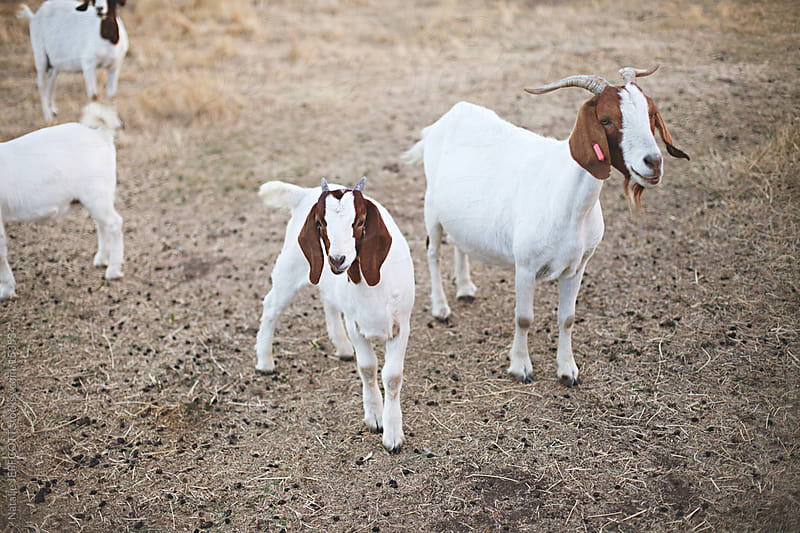 4 goats stand and wait for their food in the afternoon on a farm by Natalie JEFFCOTT for Stocksy United