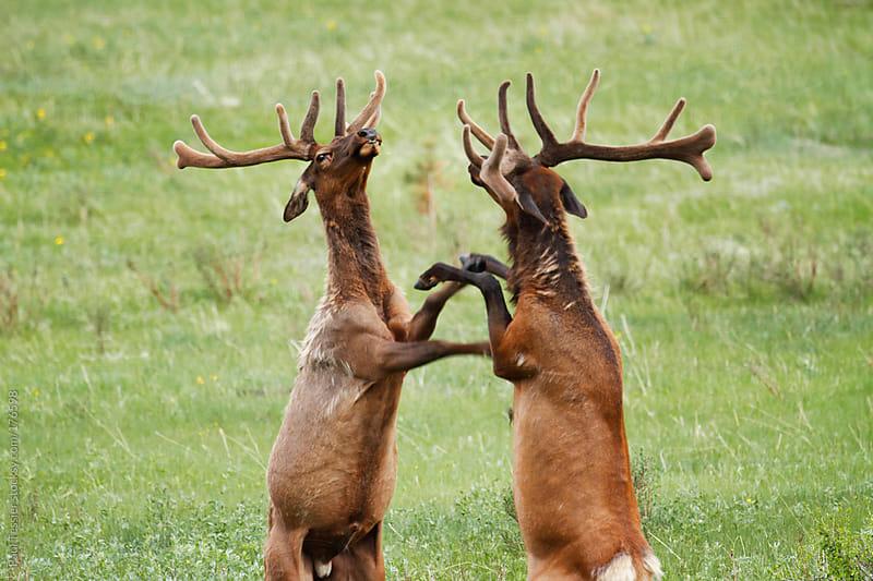Sparring Elk by Paul Tessier for Stocksy United