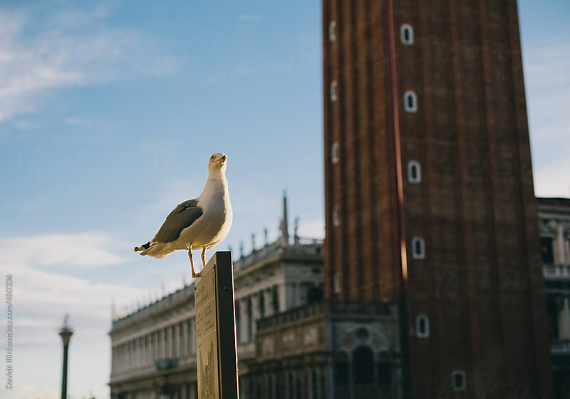 Seagull in St Mark Square in Venice by Davide Illini for Stocksy United